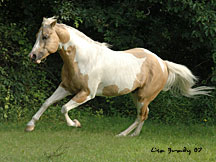 Sonnys Butterscotch, a palomino paint stallion owned by Sunnywood.  Click here to go to his web page.